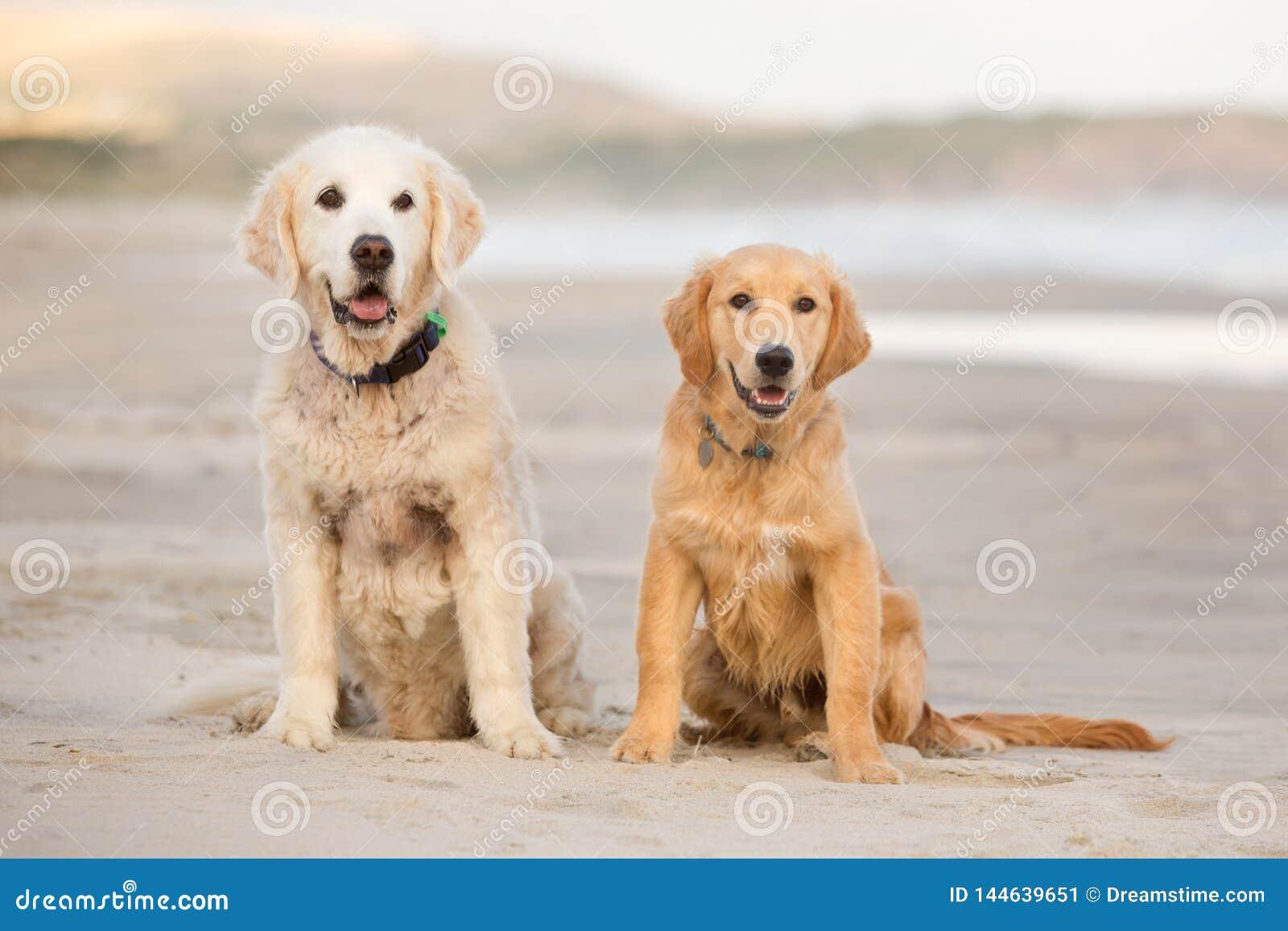 Deux chiens de golden retriever se reposent sur la plage