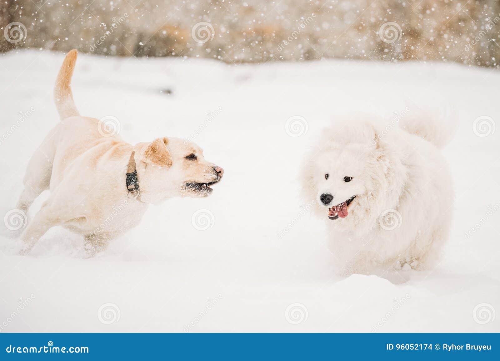 Deux chiens drôles - chien et Samoyed de Labrador jouant et courant extérieur dans la neige, saison d hiver