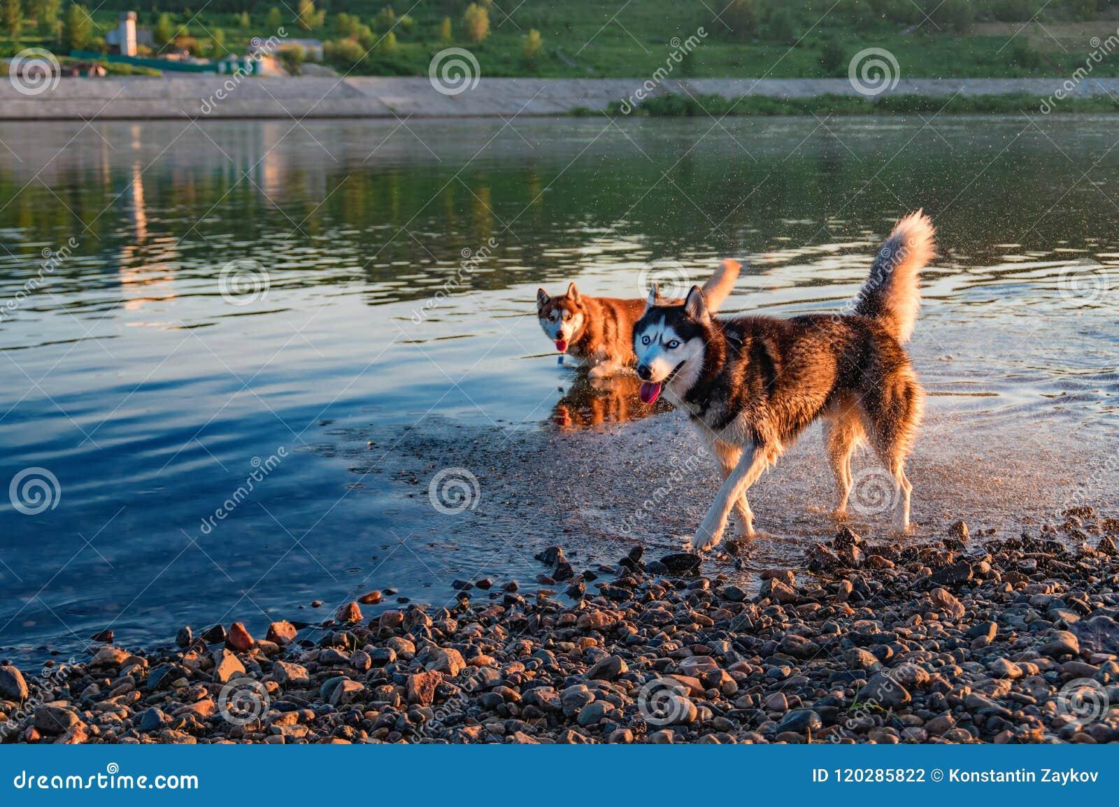 Deux chiens enroués jouent et fonctionnent en eau peu profonde, dehors, amitié, relations, ensemble Soirée chaude ensoleillée d é