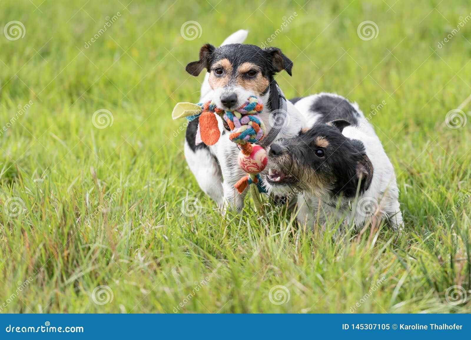 Deux chiens fonctionnent et jouent avec une boule dans un pr? Un jeune chiot mignon de Jack Russell Terrier avec sa femelle