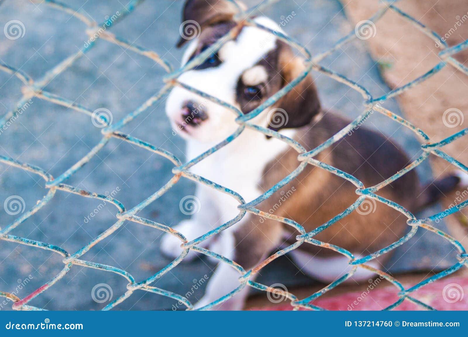 Deux chiots d une séance de labrador retriever derrière des barres dans la cage