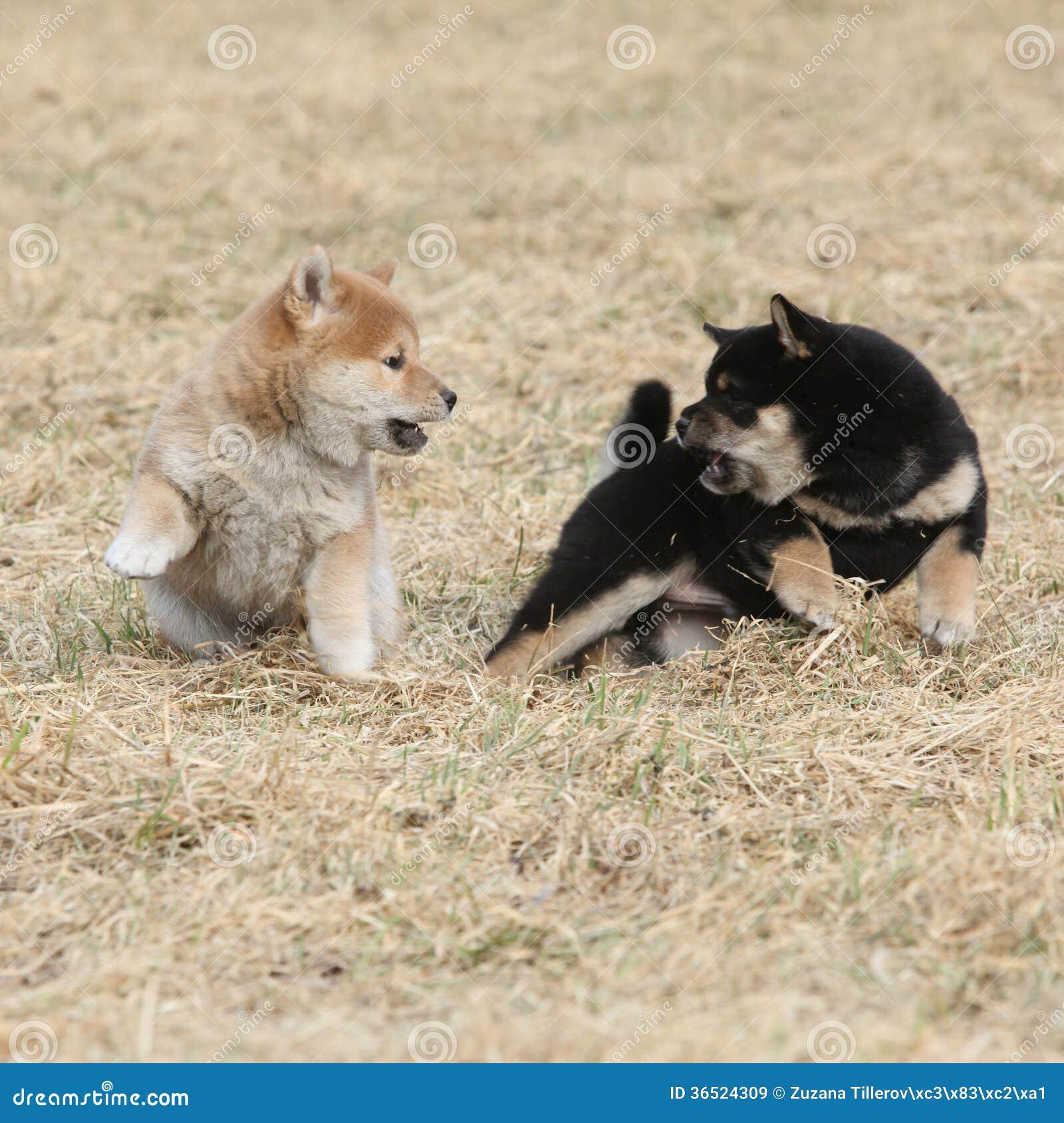 Deux chiots de jouer d inu de Shiba