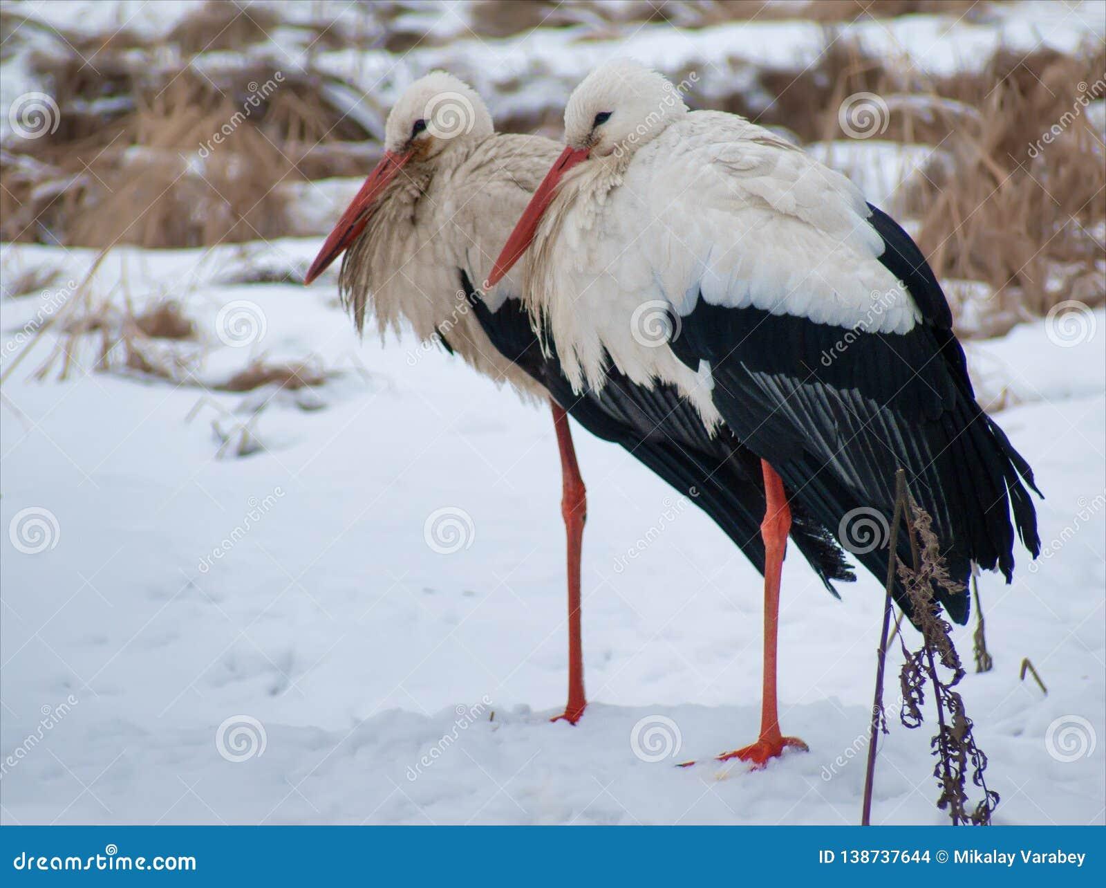 Deux cigognes blanches semblent semblables sur la terre couverte par neige