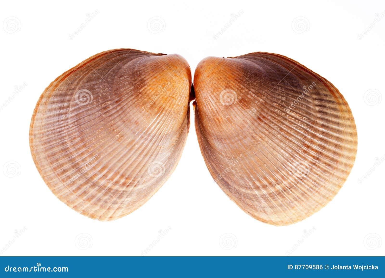 Deux coquilles de mer de mollusque d isolement sur le fond blanc
