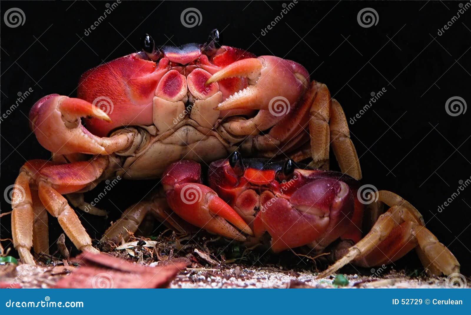 Deux crabes
