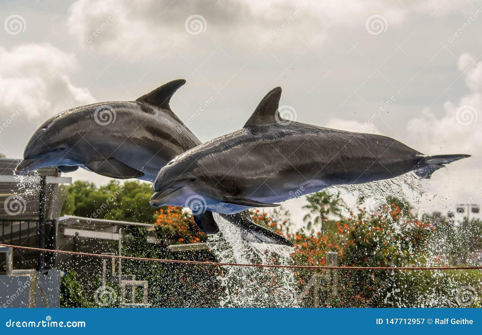 Deux dauphins sautent de l eau pendant une exposition de dauphin
