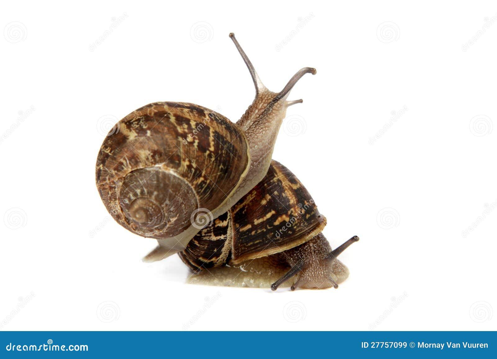 Deux escargots d isolement sur le blanc