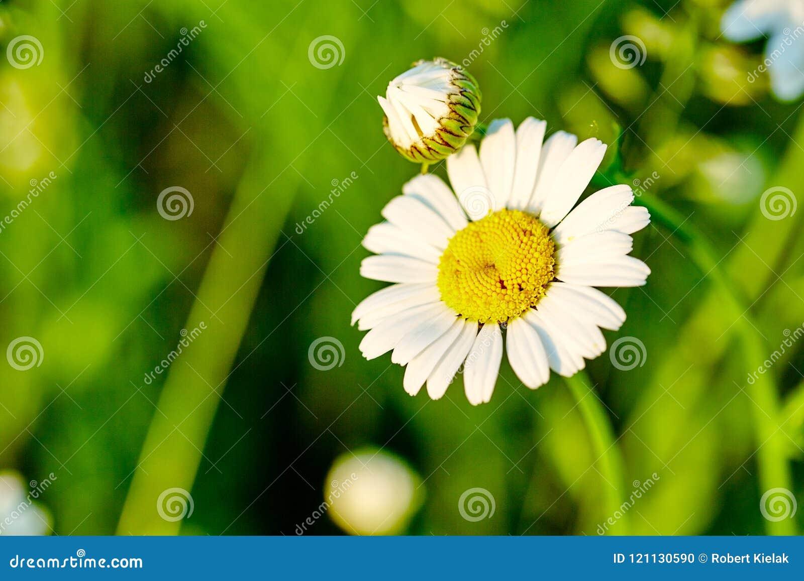 Deux fleurs de camomille sur le pré Plan rapproché Photo pour des milieux, bureau, couverture