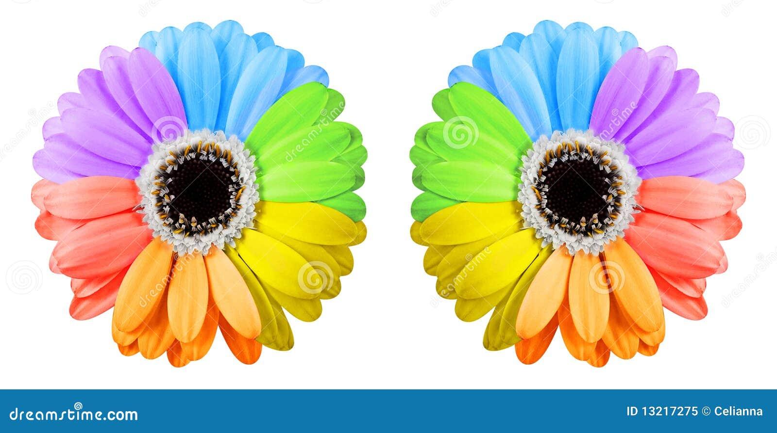 deux fleurs de gerbera d 39 arc en ciel photo libre de droits image 13217275. Black Bedroom Furniture Sets. Home Design Ideas