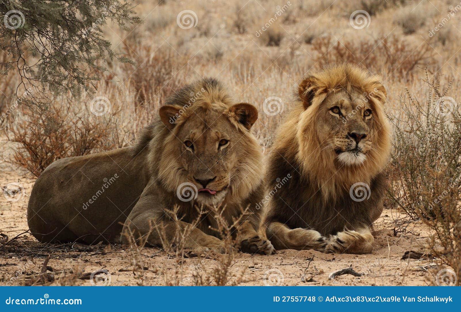 Deux frères de lion dans le Kgaligadi 3