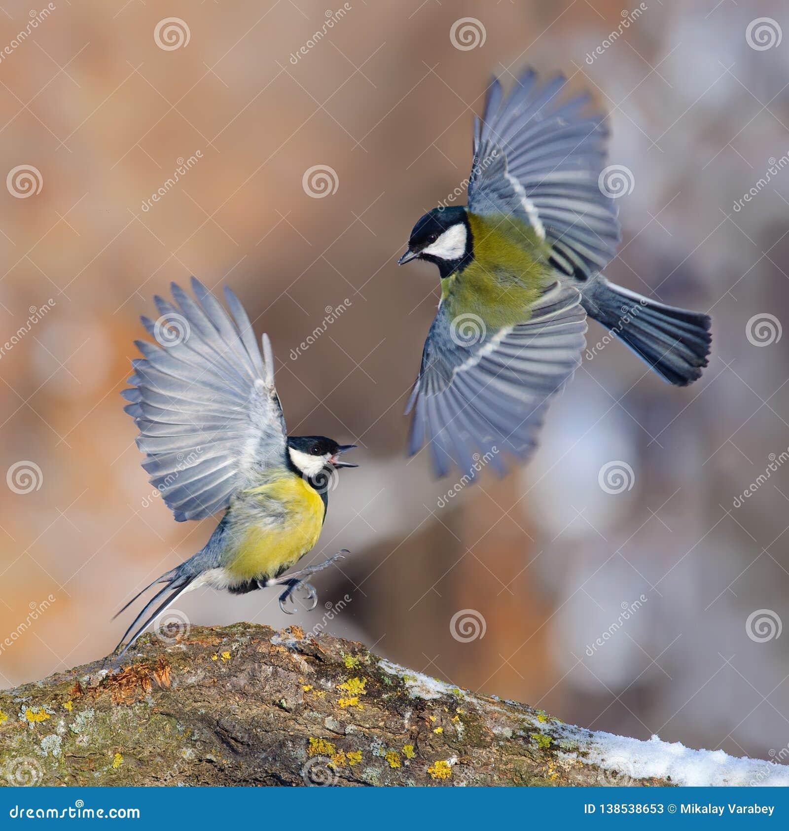Deux grandes mésanges sont en conflit affichage avec tous les colère et plumage lumineux