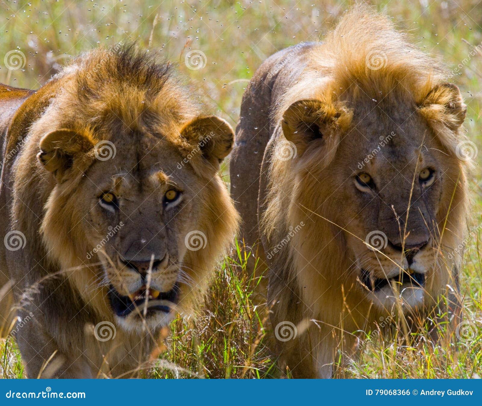 Deux grands lions masculins sur la chasse Stationnement national kenya tanzania Masai Mara serengeti