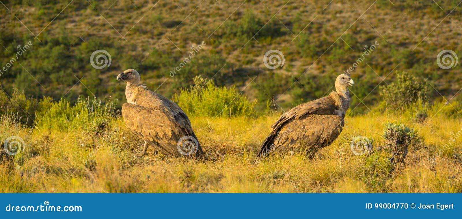 Deux Griffon Vultures donnant à leurs dos un un autre