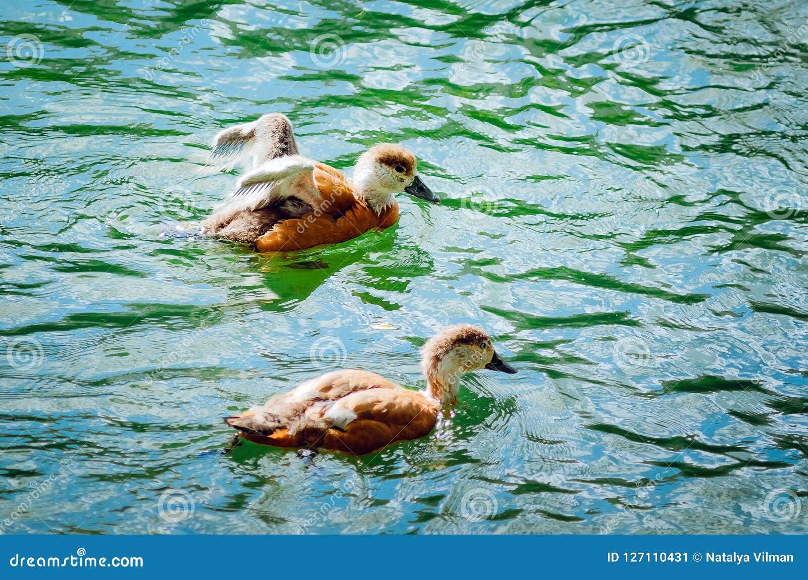 Deux jeunes canetons nagent dans le lac