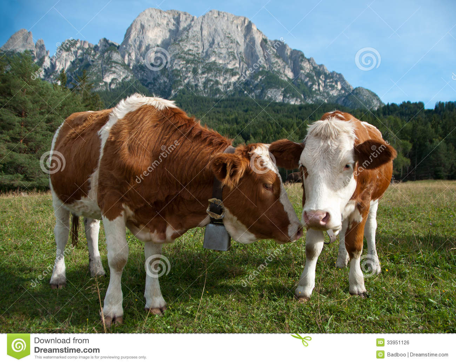 Deux jeunes vaches laitières de Simmentaler