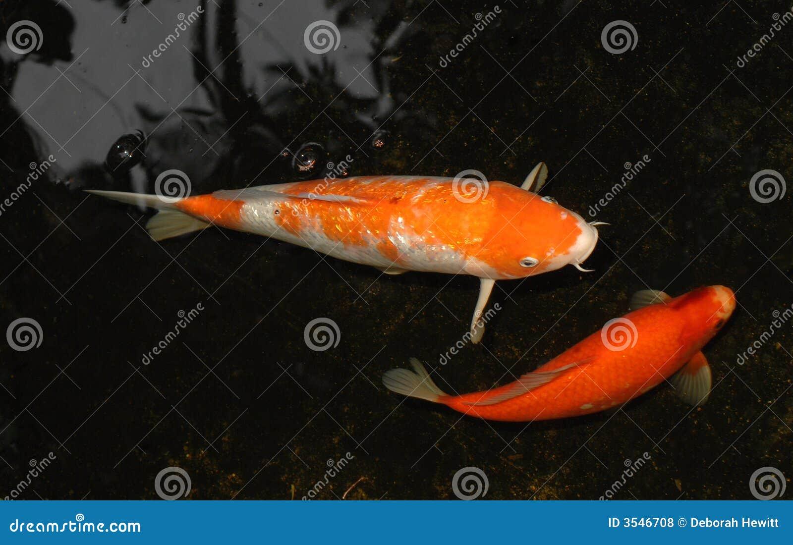 Deux Koi dans l étang