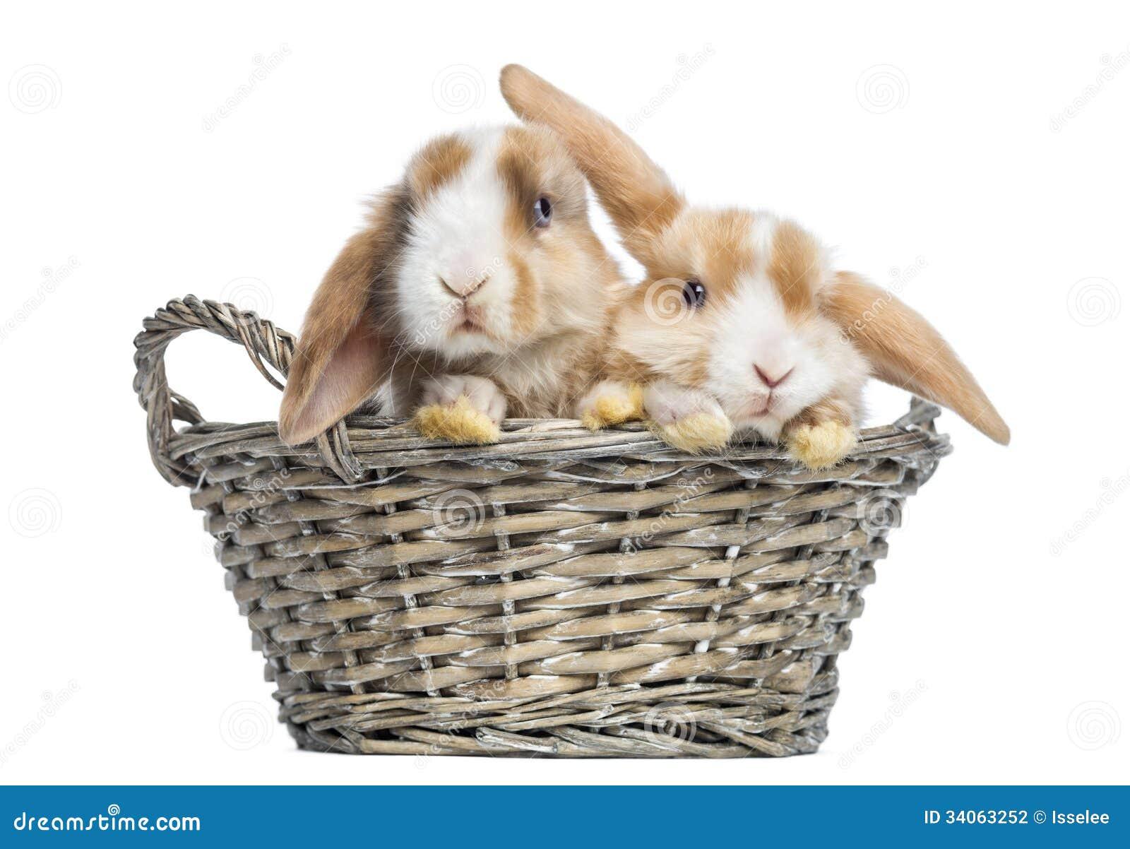 deux lapins de mini lop de satin dans un panier en osier d 39 isolement photo stock image du. Black Bedroom Furniture Sets. Home Design Ideas