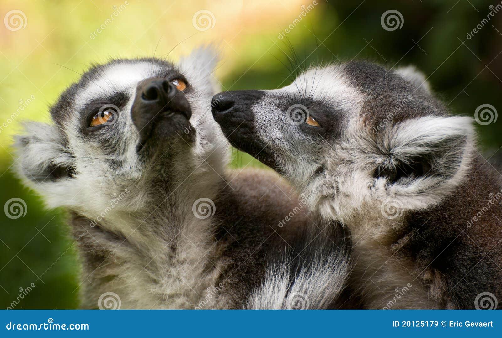 Deux lemurs suivis par boucle (catta de Lemur)