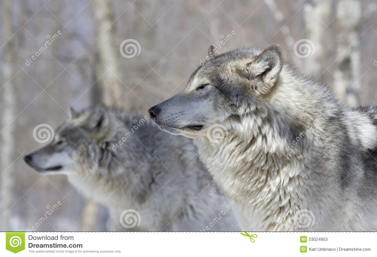 Deux loups dans la forêt