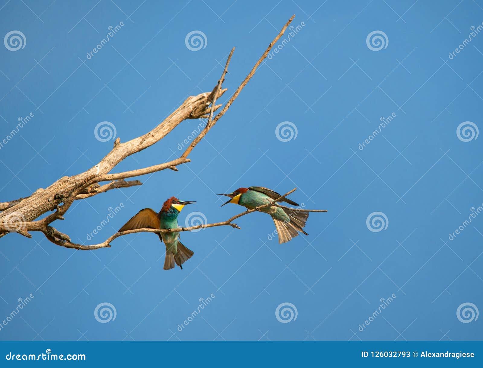 Deux mangeurs d abeille masculins sur la branche luttant pour un endroit sur l arbre