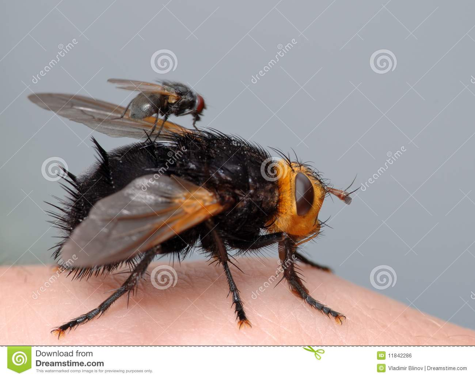 Deux mouches sur mon doigt image libre de droits image - Mouche jaune et noire ...