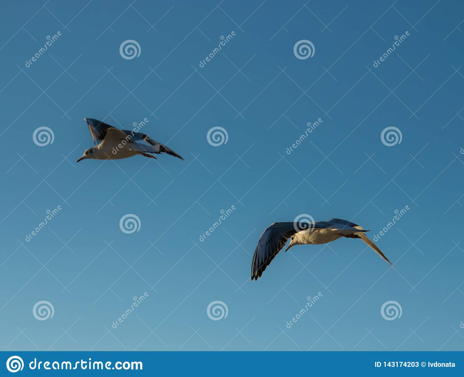 Deux mouettes volantes sur un fond de ciel bleu