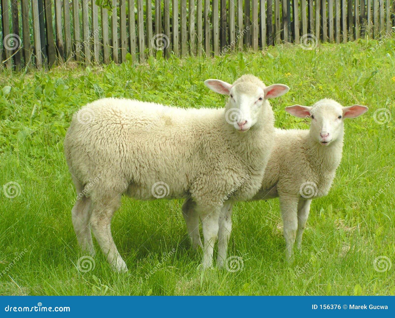 Deux moutons photo stock image du agneau zone ch ri - Photos de moutons gratuites ...