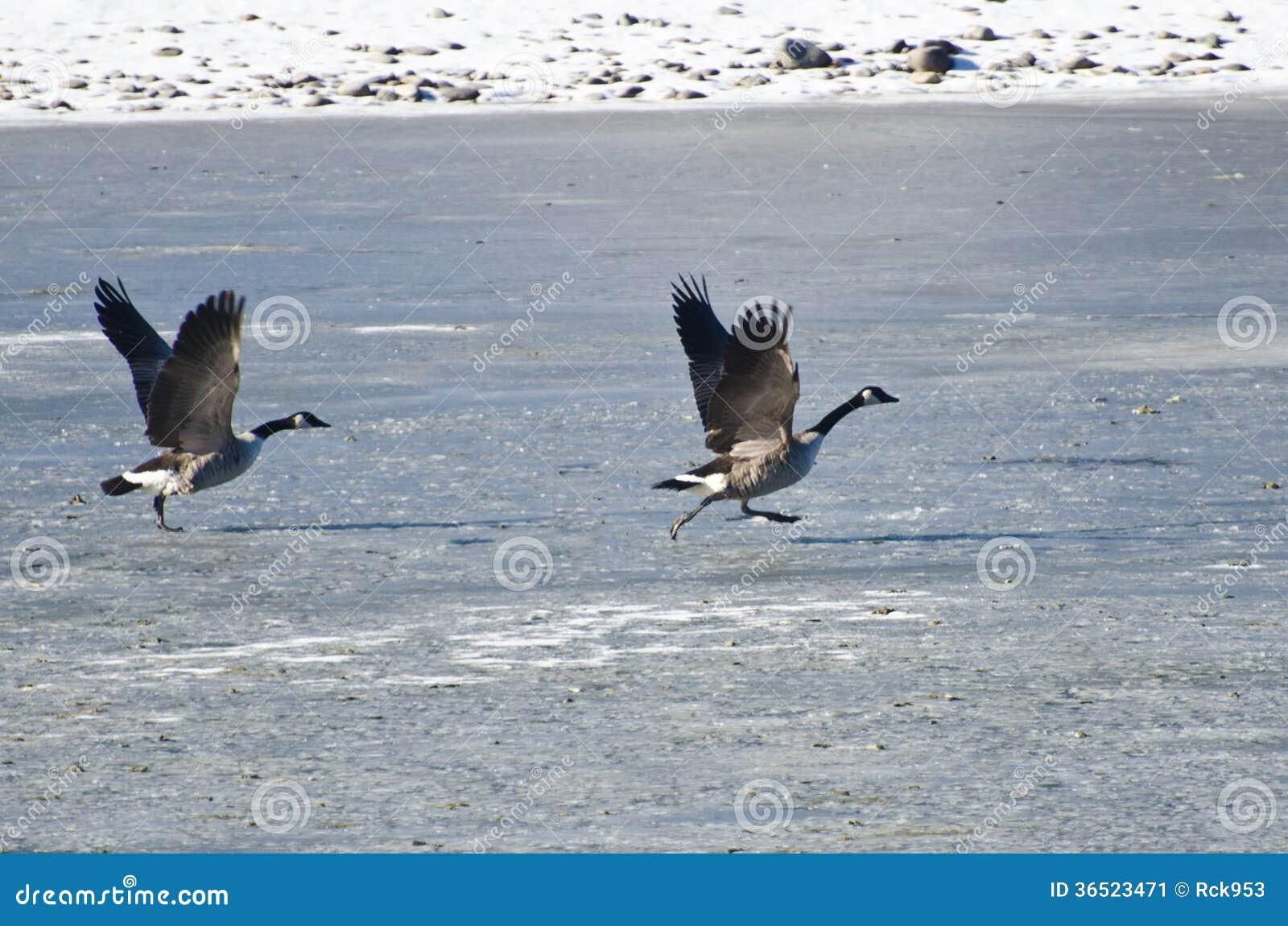 Deux oies de Canada décollant du lac congelé