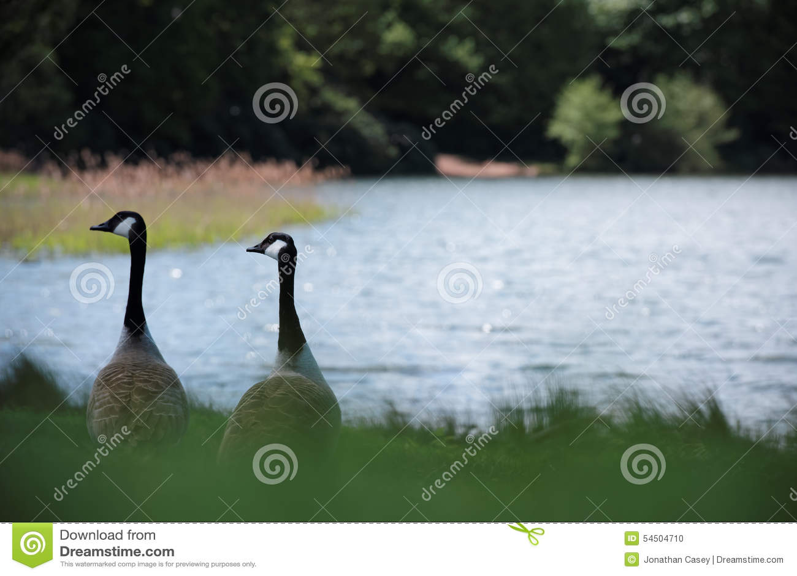 Deux oies de Canada par un lac
