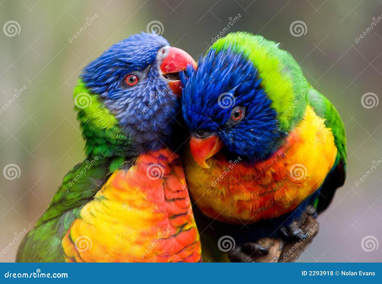 Deux oiseaux de lorikeet