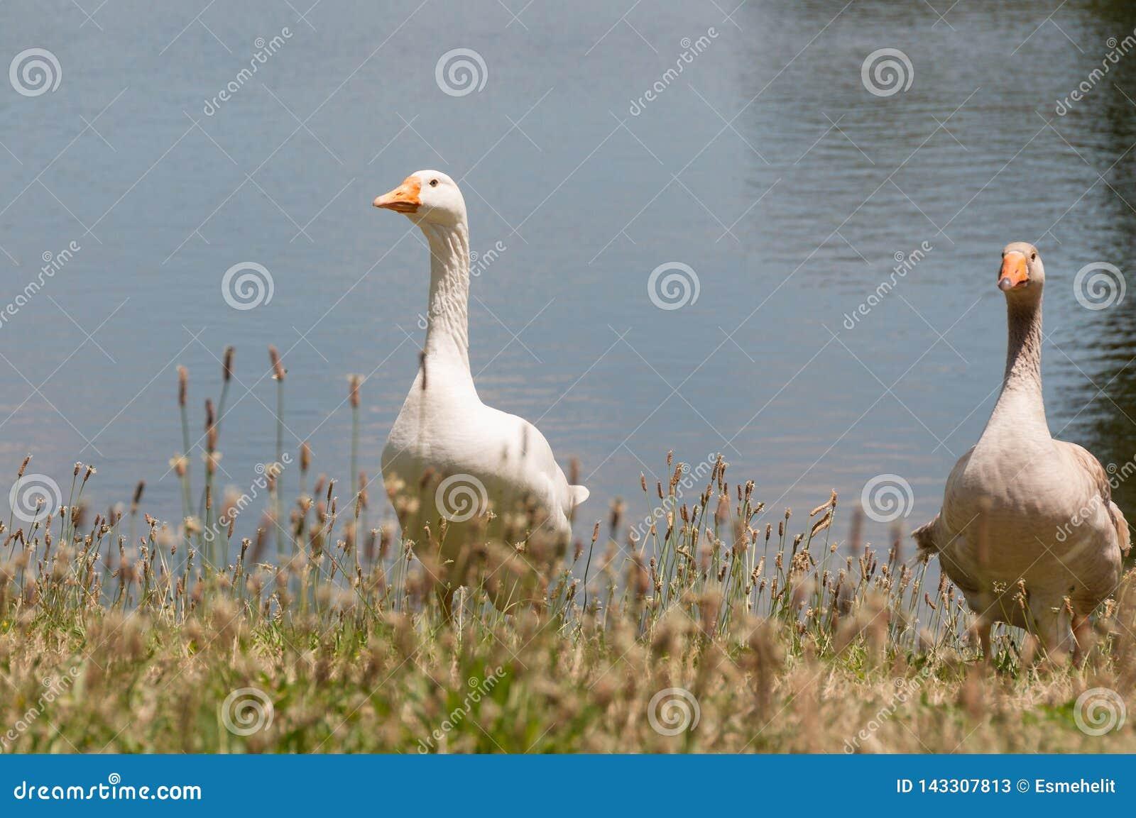Deux oiseaux domestiques d oies, volailles près d un étang