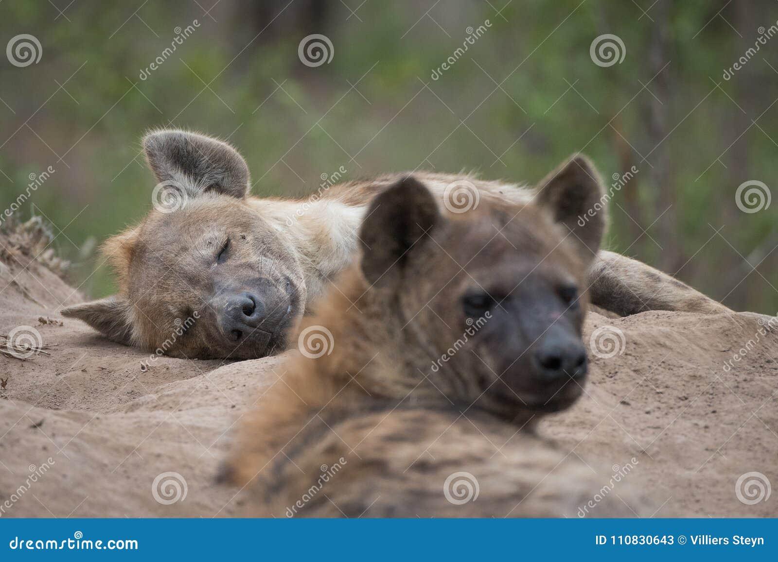 Deux ont repéré des hyènes se reposant à l entrée à leur repaire