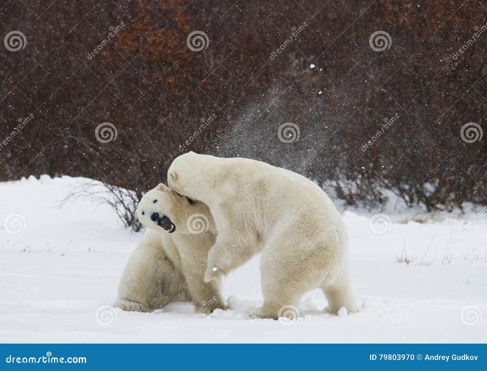 Deux ours blancs jouant les uns avec les autres dans la toundra canada