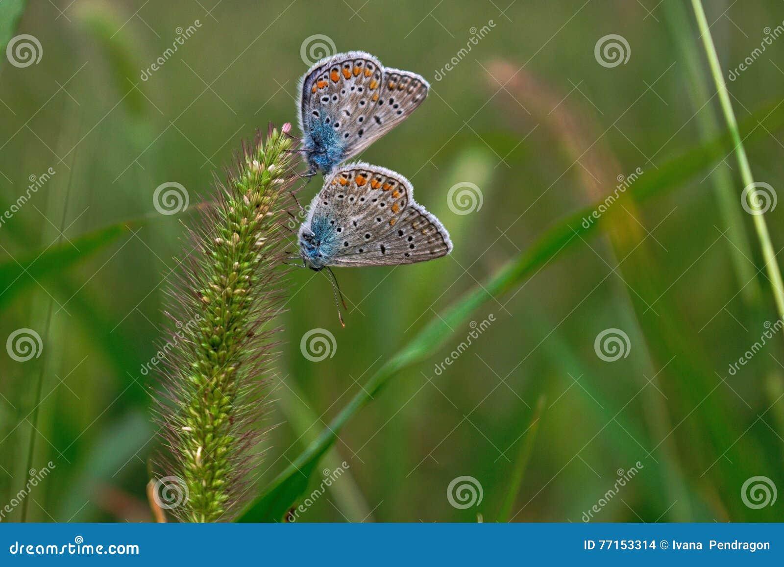 Deux papillons sur une herbe de poil