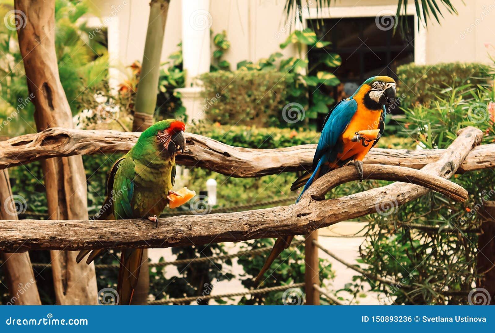 Deux perroquets colorés étés perché sur une branche mangeant du fruit macaw