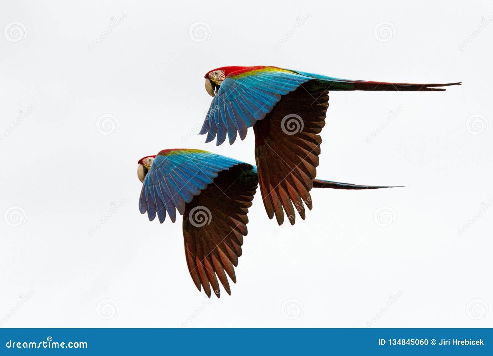 Deux perroquets rouges en vol Vol d ara, fond blanc, ara d oiseaux, rouge et vert d isolement dans la forêt tropicale, Brésil