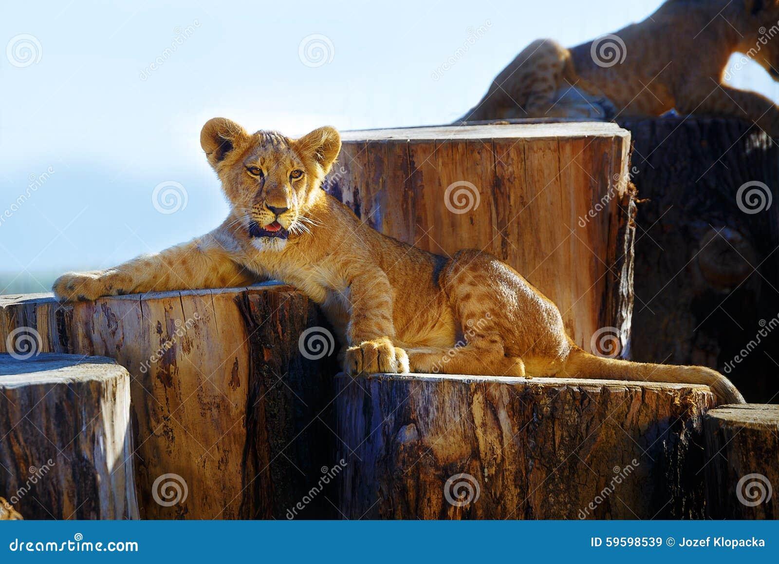 deux petits animaux de lion caressant dans la nature et le rondin en bois image stock image du. Black Bedroom Furniture Sets. Home Design Ideas