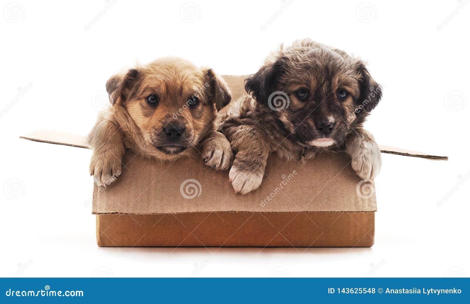 Deux petits chiens dans la bo?te