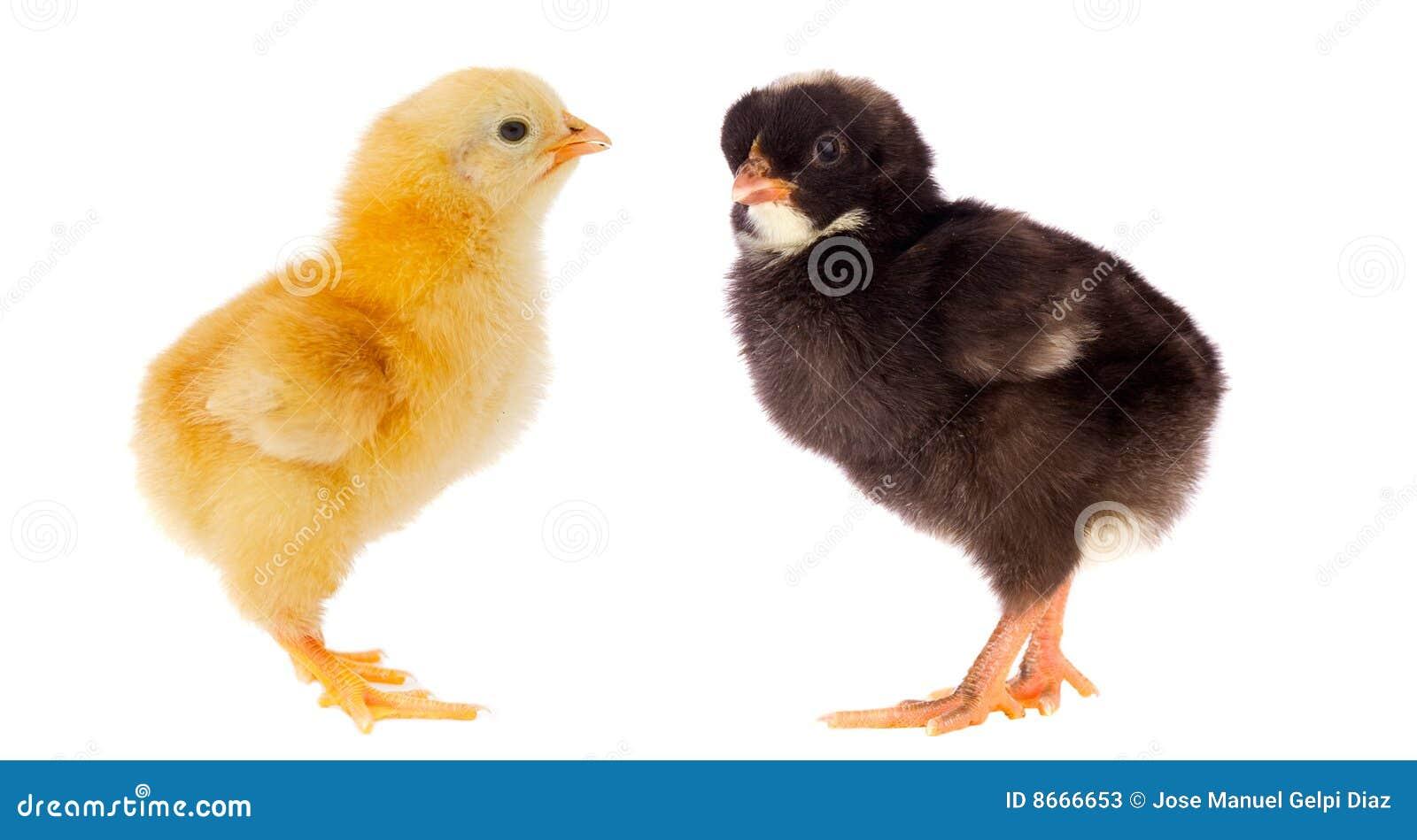 Deux petits poulets de différentes couleurs