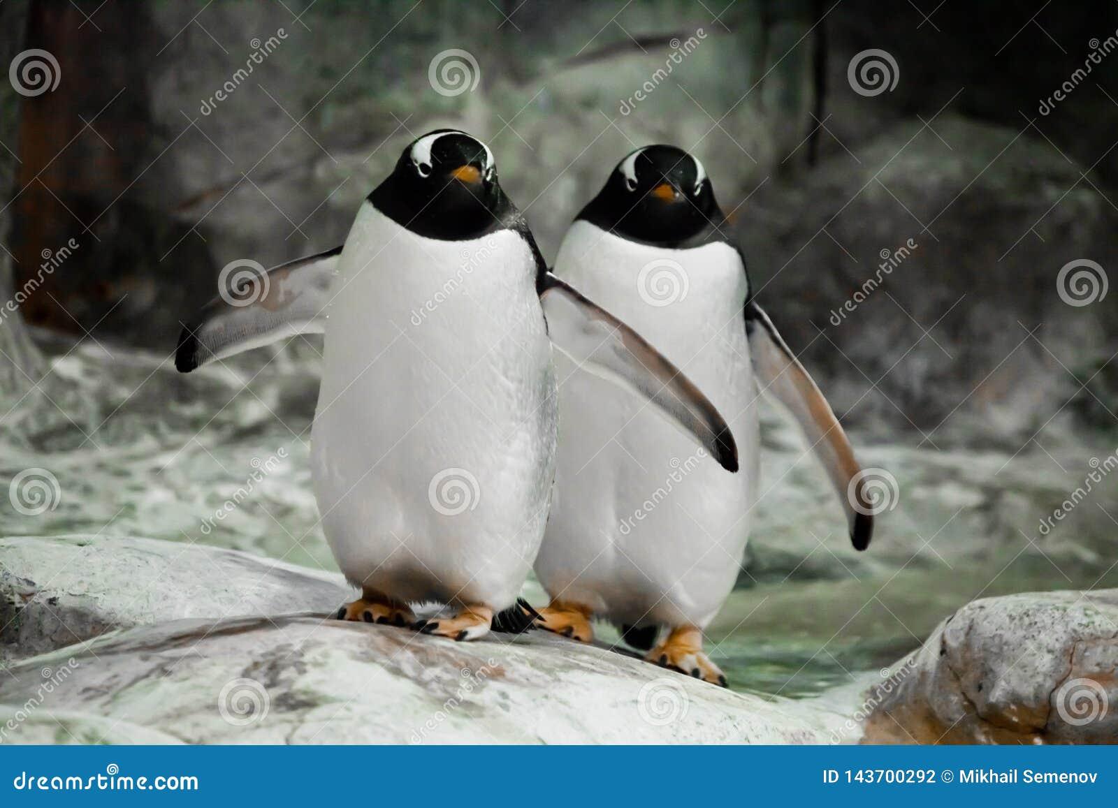 Deux pingouins tiennent côte à côte des conjoints, un couple marié ou les gros pingouins sous-antarctiques mignons d amis se tien