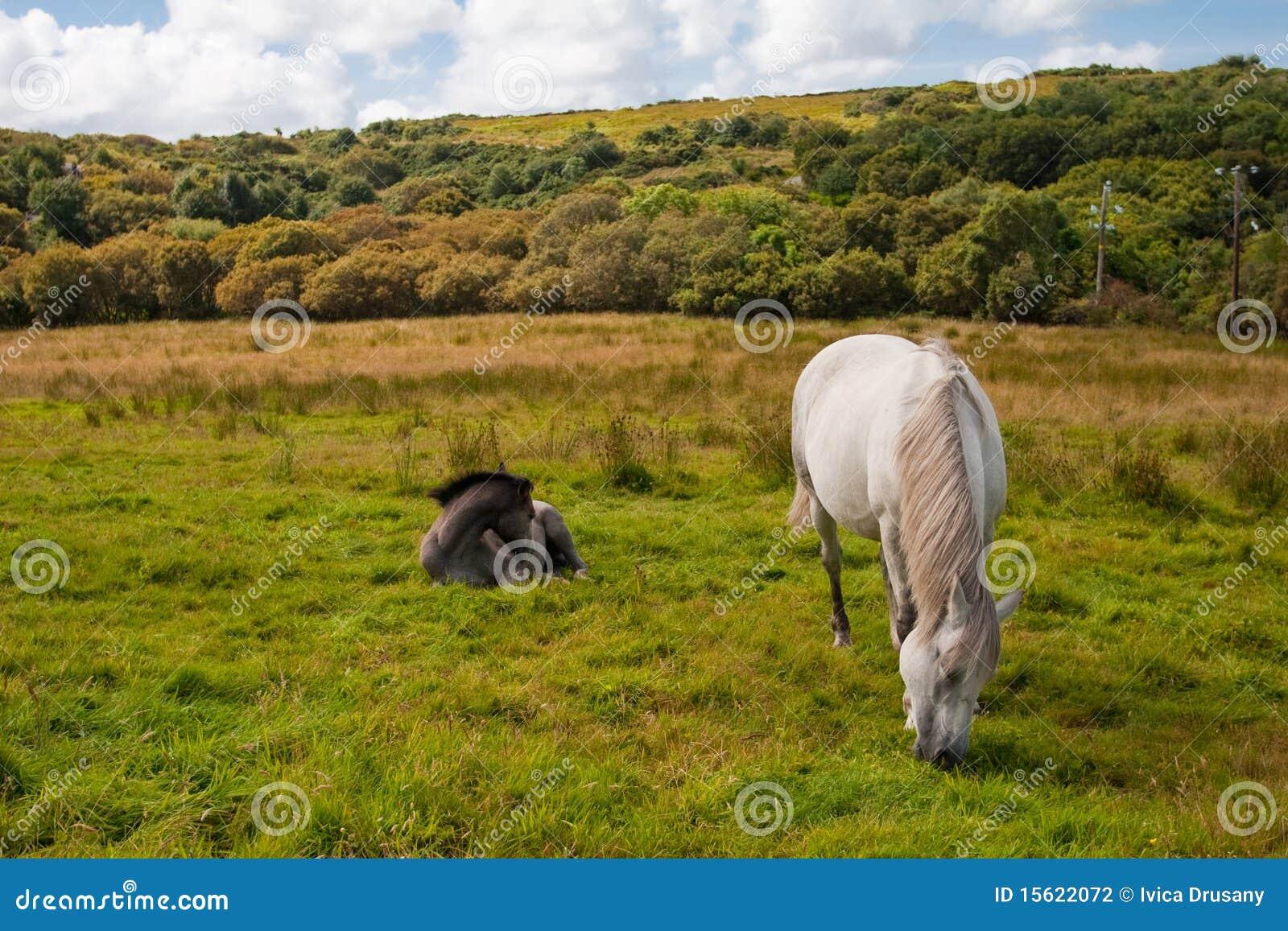 Deux poneys de Connemara