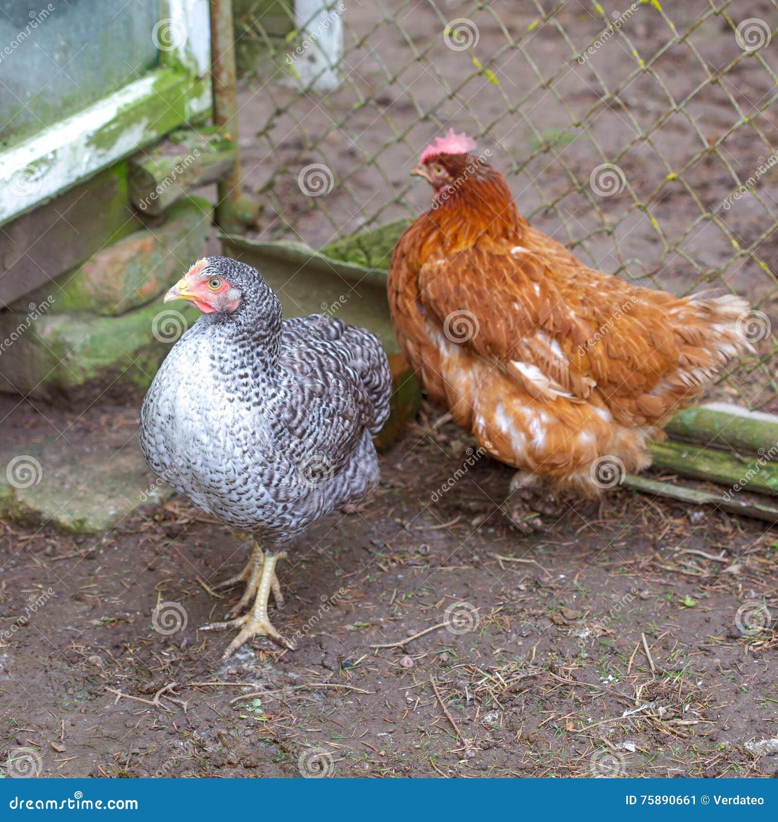 Deux Poules Gratuites De Gamme Image Stock Image Du Rouge Vert
