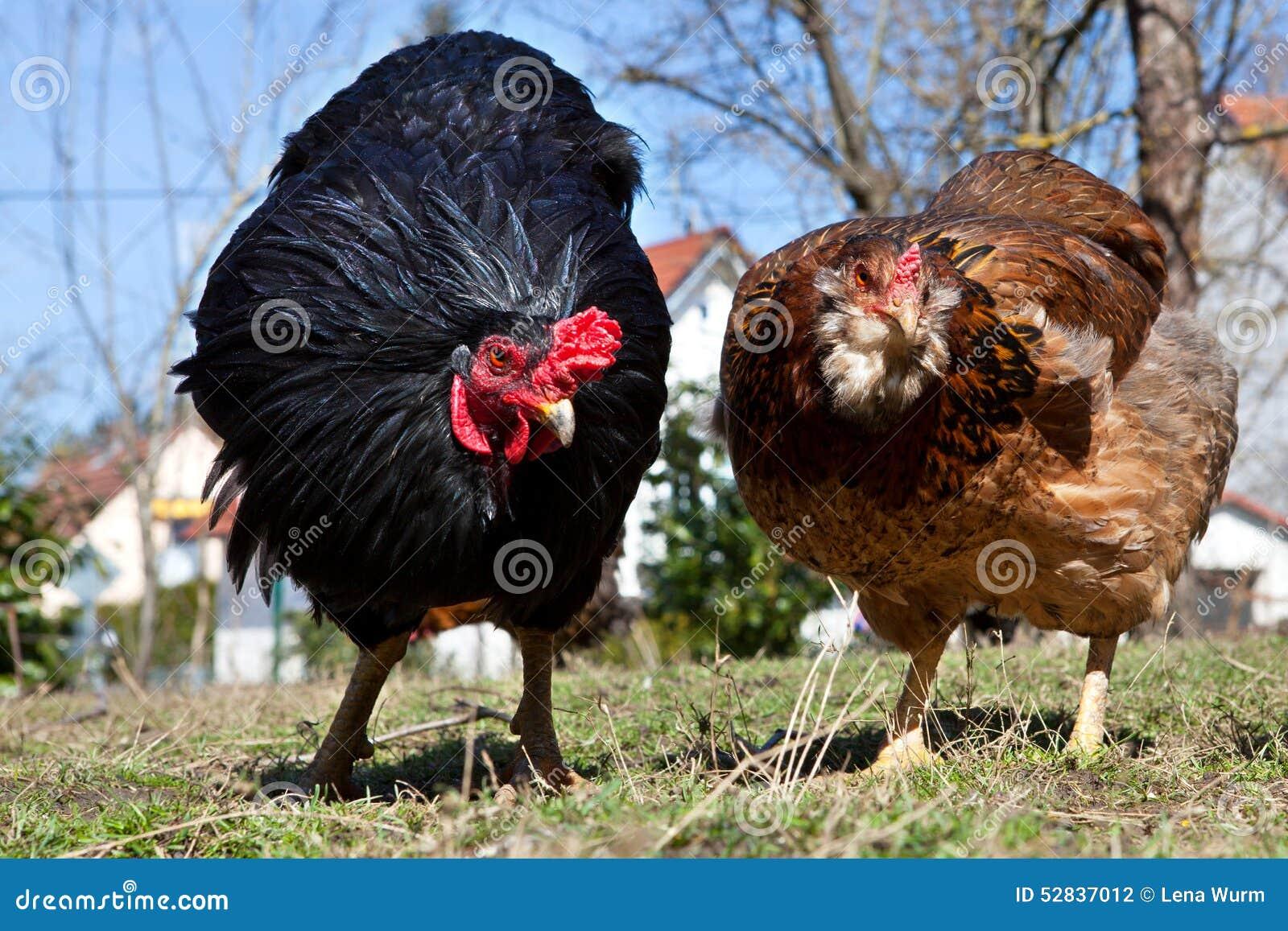 Deux Poules Gratuites De Gamme Dans Le Jardin Photo Stock Image Du