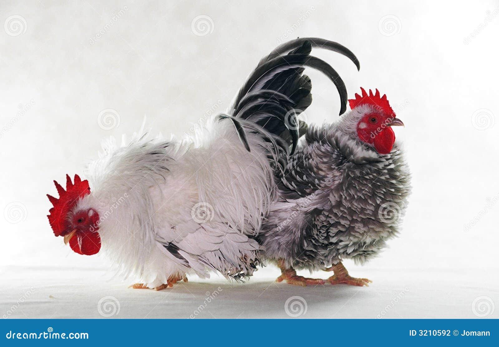 Deux poulets