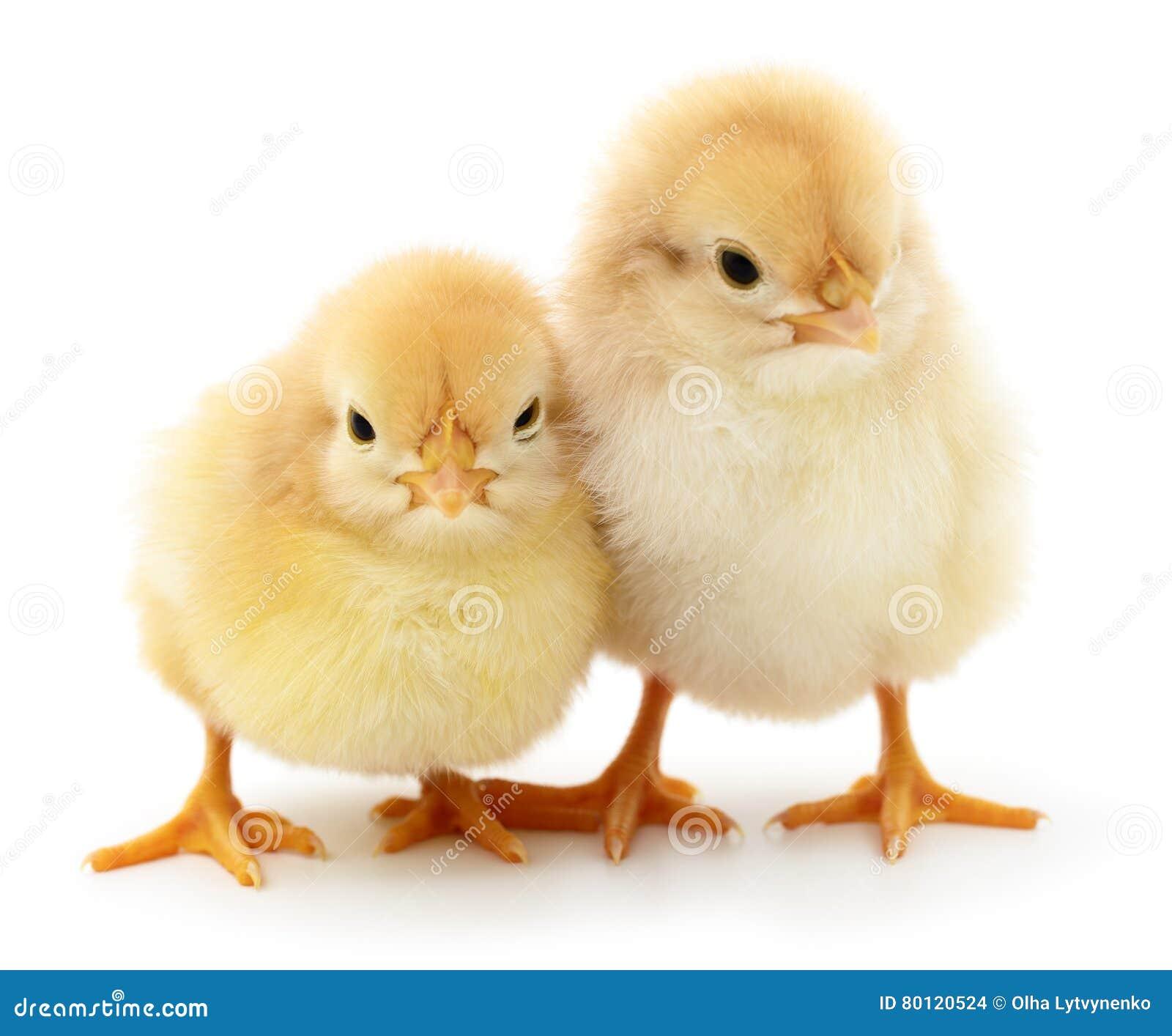 Deux poulets jaunes