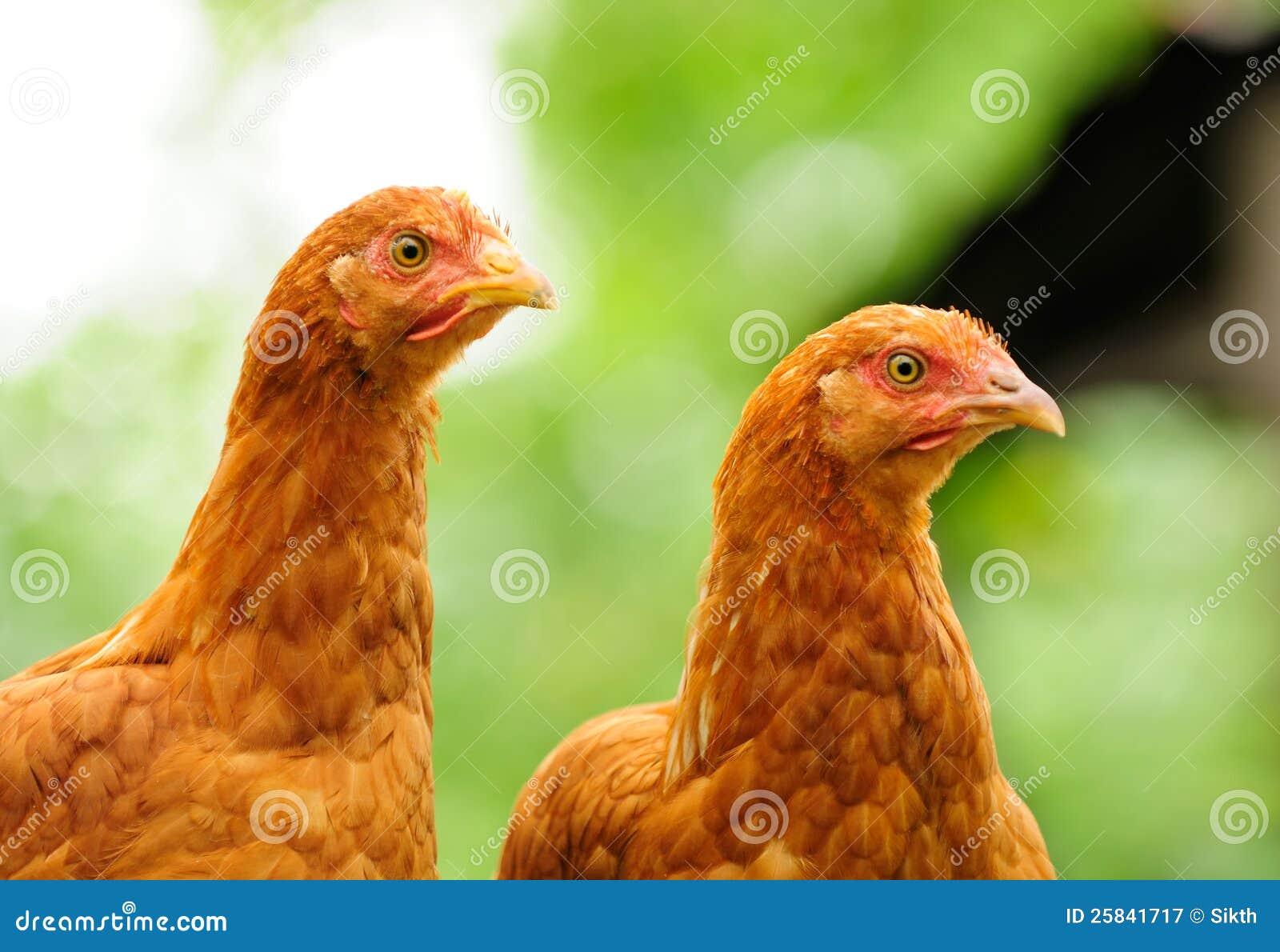 Deux poulets rouges
