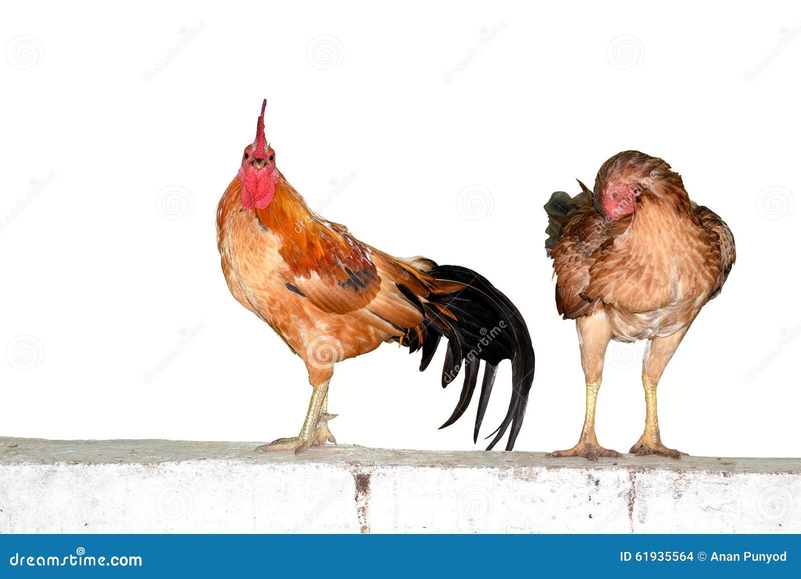Deux poulets sur l isolat de mur sur le fond blanc
