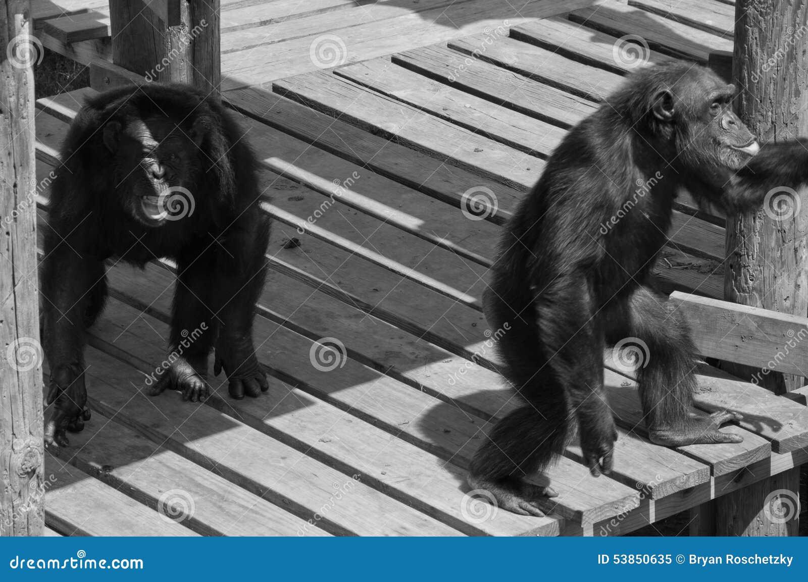 Deux primats criards de chimpanzé montrant l amour de singe
