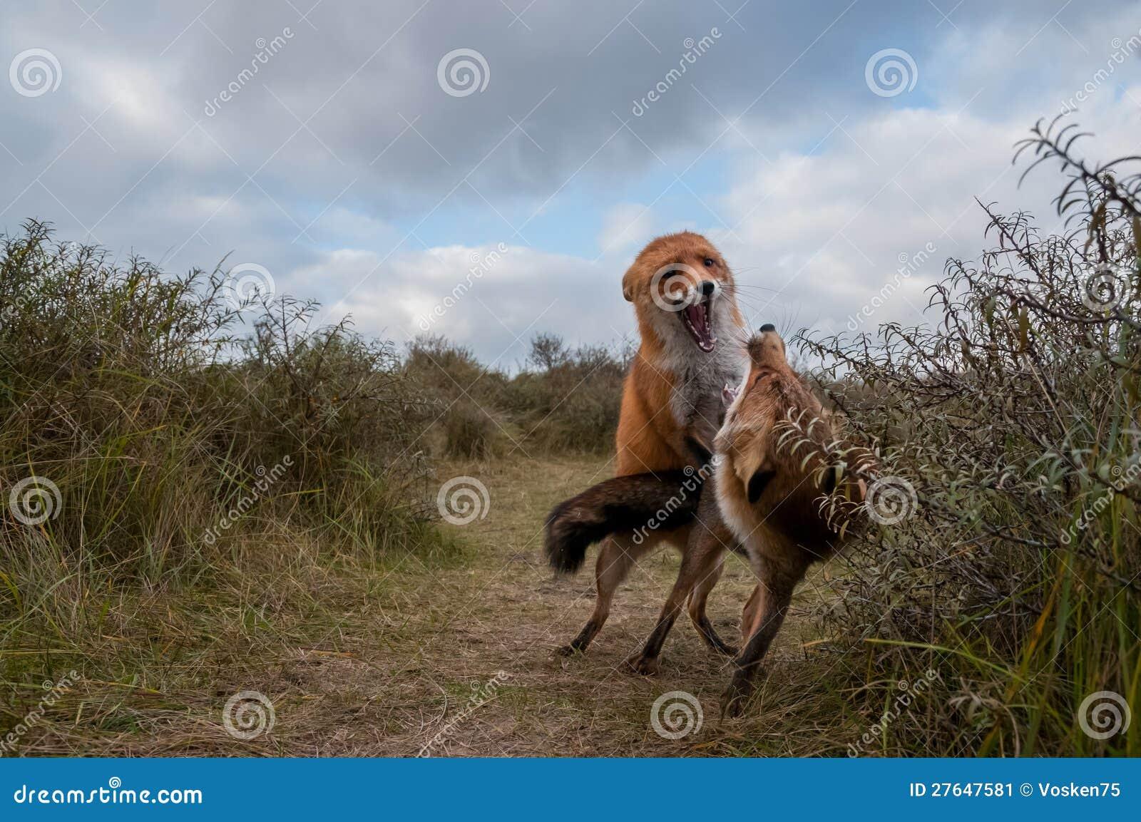 Deux renards rouges combattant dans les dunes