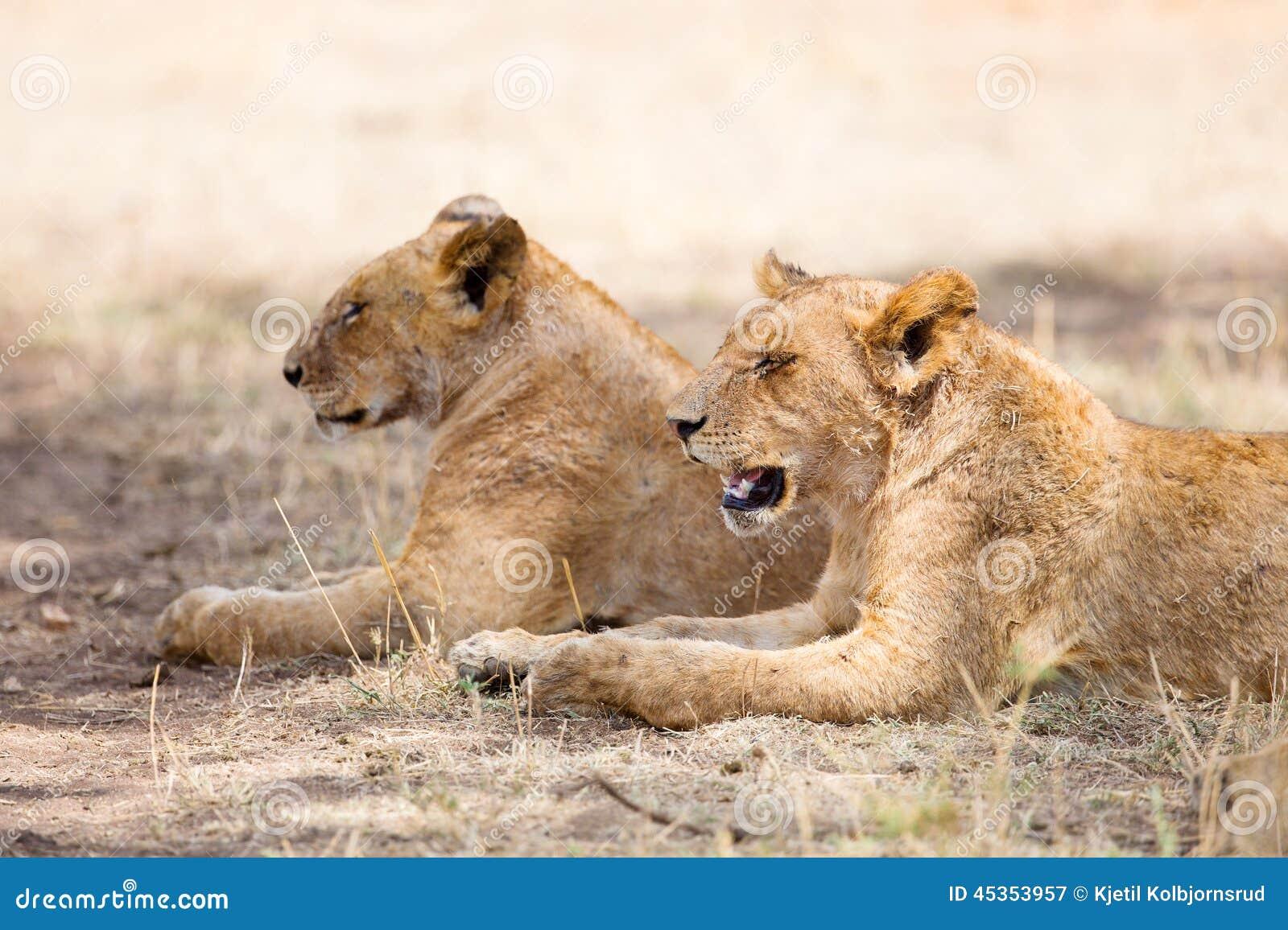 Deux repos de lions dans l ombre
